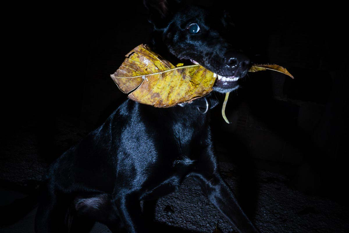 Close up flash street photograph of a black dog which is holding a yellow leaf in his mouth